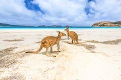 Kangoeroes in Lucky Bay stock afbeeldingen