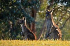 Kangoeroes met Joey royalty-vrije stock afbeelding