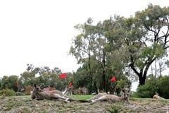 Kangoeroes op de Cursus Royalty-vrije Stock Fotografie