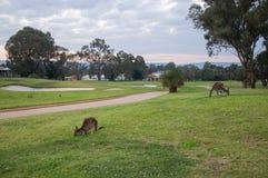 Kangoeroes op de Golfcursus stock fotografie