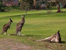 Kangoeroes op een gebied royalty-vrije stock afbeeldingen