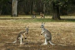 Kangoeroes op hun voeten Stock Foto