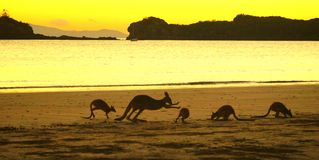 Kangoeroes op strand royalty-vrije stock fotografie