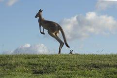 Kangoeroesprongen tegen blauwe hemel royalty-vrije stock afbeelding