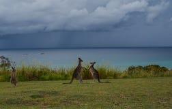 Kangoeroestrijd royalty-vrije stock afbeelding