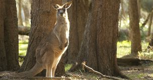 Kangoeroewallaby Buidel Dierlijk Australië stock videobeelden