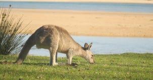 Kangoeroewallaby Buidel Dierlijk Etend Australië stock videobeelden
