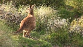 Kangoeroewallaby - het Australische Wild stock footage
