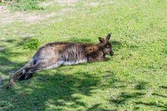 Kangoroo лежа в солнце на зеленом луге Стоковые Изображения