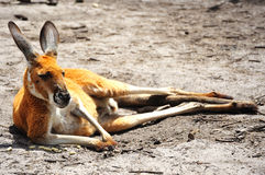 Kangoroo Royalty Free Stock Photography