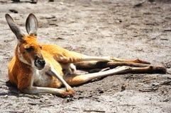 kangoroo Стоковая Фотография RF