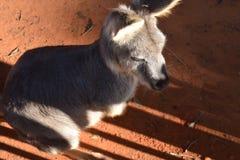 Kangoroo scontroso Fotografia Stock