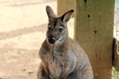 Kangoroo Royalty Free Stock Photo