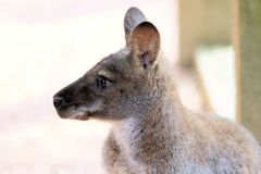Kangoroo Royalty Free Stock Photo