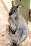 Kangoroo Stock Images