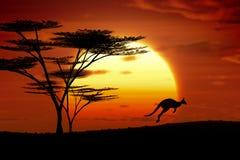 Kangoroozonsondergang Australië Stock Foto's