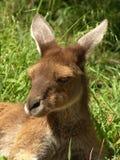 kangorro Royalty Free Stock Photo