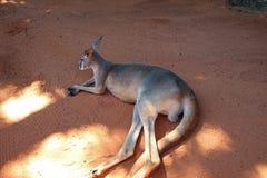 Kangourou à la nuance aux jardins de Bush Image libre de droits