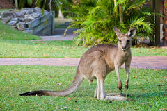 Kangourou Photo stock