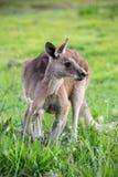 Kangourou Images libres de droits
