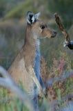 Kangourou Photo libre de droits