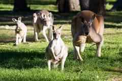 kangourou Photos libres de droits