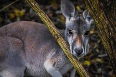 Kangourou Photographie stock