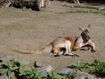 Kangourou Image stock