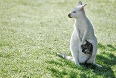 Kangourou albinos et son peu Photos libres de droits