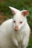 Kangourou albinos (wallaby) Image stock