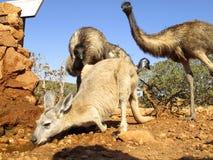 Kangourou, Australie Images libres de droits