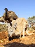 Kangourou, Australie Image stock