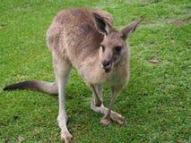 Kangourou australien amical se tenant sur des gras Photos libres de droits