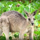 Kangourou australien de faune Images libres de droits