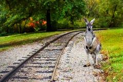 Kangourou aux armoires de chemin de fer Images stock