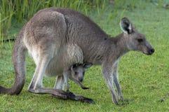 Kangourou avec la chéri Joey dans la poche Photographie stock libre de droits