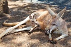 Kangourou avec le joey Photos libres de droits