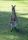 Kangourou avec son joey, kangourou de bébé dans le sac i d'avant de ventre du ` s de maman Images stock