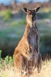 Kangourou collant sa langue Photos stock