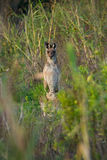 Kangourou curieux dans l'Australie Photographie stock libre de droits