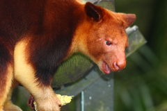 Kangourou d'arbre Photos libres de droits