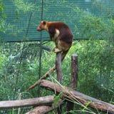 Kangourou d'arbre Image libre de droits