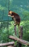 Kangourou d'arbre Image stock