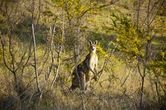 Kangourou dans l'arbre d'acacia Photo libre de droits