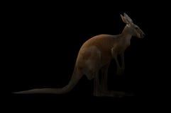 Kangourou dans l'obscurité photographie stock
