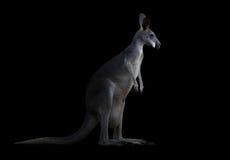 Kangourou dans l'obscurité Image stock