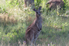 Kangourou dans le sauvage Photographie stock libre de droits