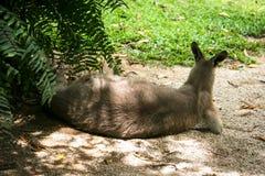 Kangourou dans les pensées Image libre de droits