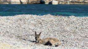 Kangourou de bébé détendant sur la plage chanceuse de baie en parc du cap le Grand National banque de vidéos