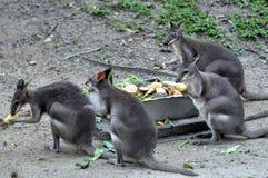 Kangourou de faune Images libres de droits